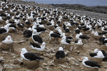 FAL1109_0001_Albatross colony at Steeple Jason Island (Falkland)