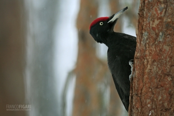FIN0209_0004_Black Woodpecker (Finland)