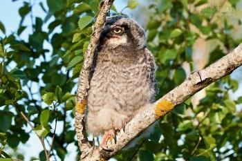 FIN0611_0615_Northern hawk-owl (Lapland, Finland)