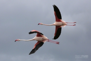 CAM0517_0007_Flamingos in flight in the sky of Camargue (Southern France)