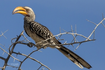 NAM0815_0009_Monteiro's hornbill in Etosha National Park (Namibia)