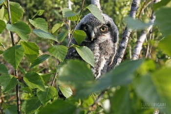 FIN0611_0012_Northern hawk-owl (Finland)