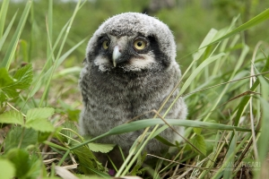 FIN0611_0011_Northern hawk-owl chick (Lapland, Finland)
