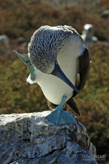 GAL0509_0013_Nuptial parade  of the blue-footed booby male (Seymour North Island, Galapagos)