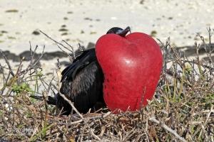 GAL0509_0014_Nuptial parade of the frigatebird male (Genovesa Island, Galapagos)