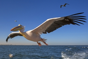 NAM0815_0017_Pelican at Walvis Bay (Namibia)