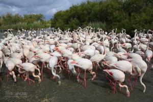 CAM0517_0018_Pink flamingos in the Parc Ornithologique (Camargue, France)