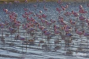 NAM0815_0019_Pink flamingos on the water edge at Walvis Bay (Namibia)