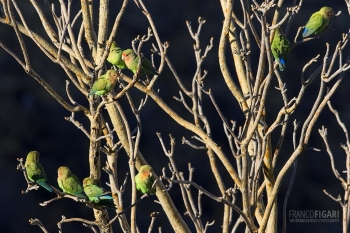 NAM0815_0020_Rosy-faced lovebirds on the Grootberg Mountains (Namibia)