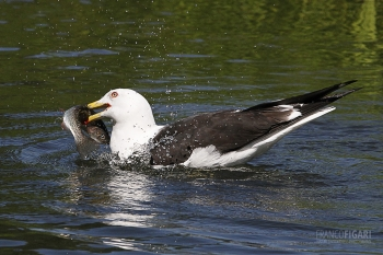 FIN0711_0021_Seagull (Central Finland)