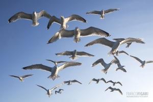 NOR0711_0022_Seagulls (Flatanger, Norway)