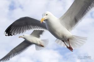 NOR0711_0023_Seagulls (Norway)