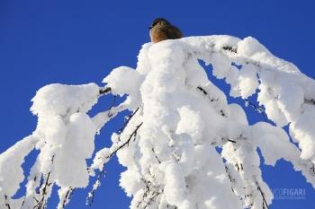 FIN0212_0026_Siberian jay (Riisitunturi National Park, Finland)