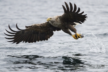 NOR0711_0029_White-tailed eagle (Flatanger, Norway)