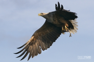 NOR0711_0030_White-tailed eagle (Norway)