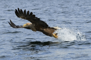 NOR0711_0028_White-tailed eagle (fjords in Flatanger, Norway)