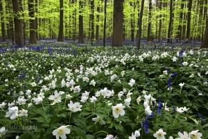 BEL0413_0032_April wild blooming in the Hallerbos forest (Belgium)