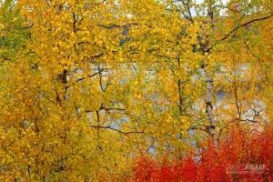 FIN0915_0037_Autumn colours in the taiga (Finland)