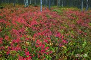 FIN1014_0038_Autumn colours in the taiga undergrowth (Finland)