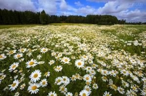 FIN0717_0041_Chamomile fields blooming in summer (Finland)