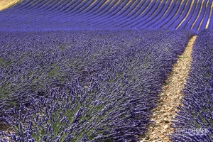 PRO0715_0043_Lavender fields blooming in July (Provence, France)