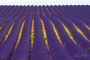 PRO0715_0042_Lavender fields  on the Valensole plateau in Provence (France)
