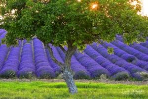 PRO0715_0045_Lavender in bloom in Provence (France)