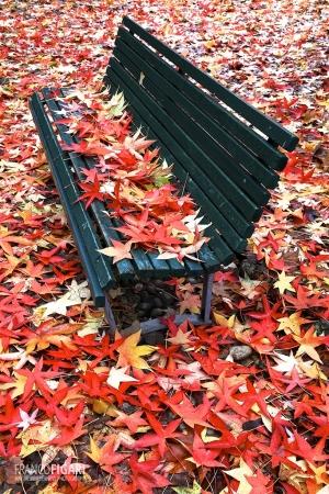 MIL1118_0046_Liquidambar leaves in autumn (Giardini Pubblici, Milan, Italy)