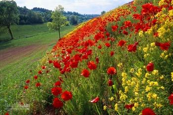 AVE0698_0050_Poppies in springtime (Midi-Pyrénées, France)