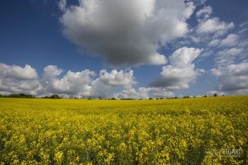 BRE0415_0052_Rapeseed fields in Bretagne (France)