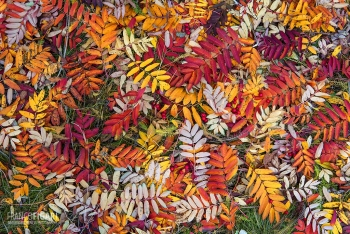 FIN1014_0053_Rowan leaves carpet in autumn (Finland)