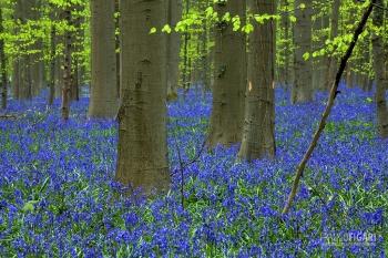 BEL0413_0057_The forest of beech trees in spring (Hallerbos, Belgium)