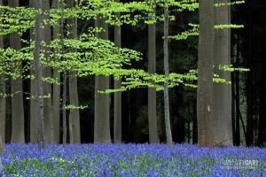 BEL0413_0059_The magic of the beech forest (Hallerbos, Belgium)