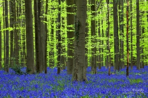 BEL0413_0060_The undergrowth of bluebells in the Hallerbos forest (Belgium)