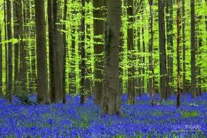 BEL0413_0060_The undergrowth of bluebells in the Hallerbos forest (Belgium)