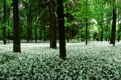 MON0406_0055_Spring blooming of garlic orsini (Parco di Monza, Italy)