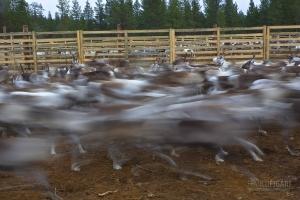 FIN1014_0064_Autumn marking of reindeer in Lapland (Finland)