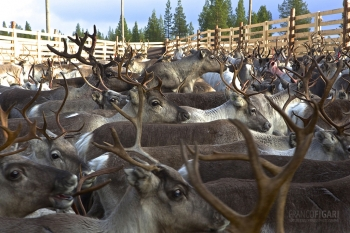 FIN1014_0065_Autumn marking of reindeer in Lapland (Finland)