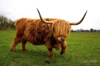 BRE0119_0072_Highland cow (Bretagne, France)