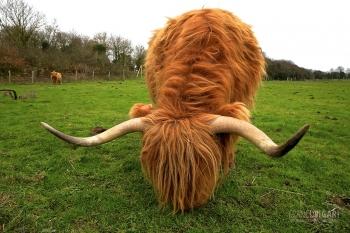 BRE0119_0073_Highland cow (Bretagne, France)
