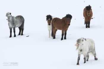 ISL0315_0074_Icelandic horses in the snow (Iceland)
