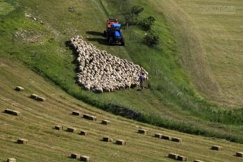 ISL0315_0074_Sheep flock on the Castelluccio Plateau (Sibillini Mountains, Italy)