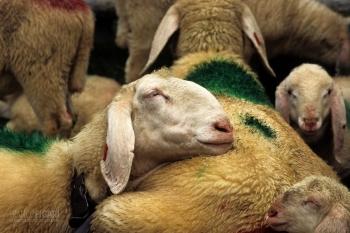 AUS0697_0076_Sheep in Austria
