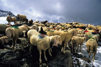 AUS0697_0077_Sheep transhumance in the Alps (Austria)