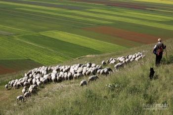 SIB0710_0079_Shepherd with sheep flock on the Castelluccio Plateau (Sibillini Mountains, Italy)