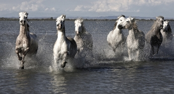 CAM0517_0081_The white horses of Camargue (Provence, France)