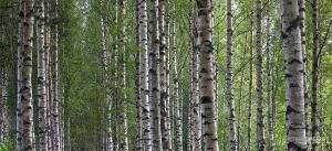 FIN0718_0087_Birch forest (Finland)