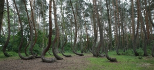 POL0617_0089_Crooked pine forest (Poland)