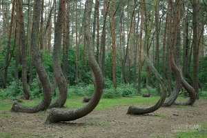 POL0617_0090_Crooked pine trees (Poland)