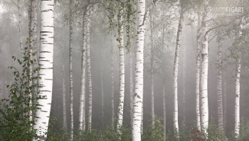 FIN0820_0829_Birch forest in the fog (Finland)